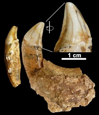 Restos fósiles de tigre dientes de sable (Homotherium latidens)
