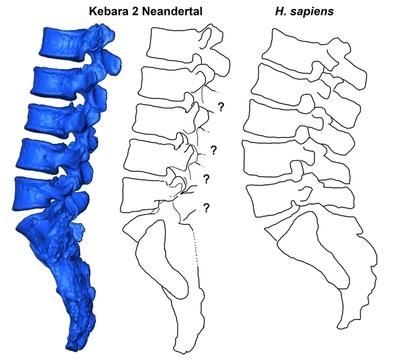 Reconstrucción virtual de las vértebras lumbares y sacro del individuo neandertal Kebara 2 (KMH2) en comparación con un Homo sapiens