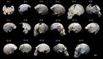 Cráneos, fracturas y signos de violencia en el Pleistoceno medio