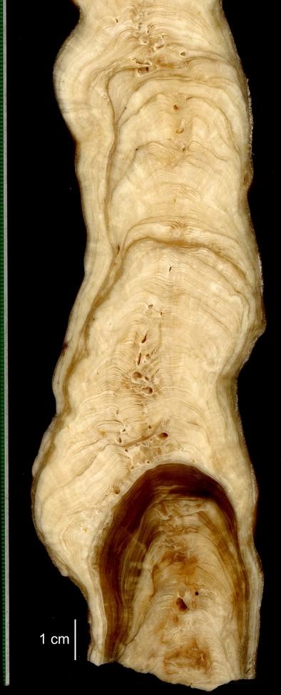 Corte de una estalagmita mostrando su microestratigrafía