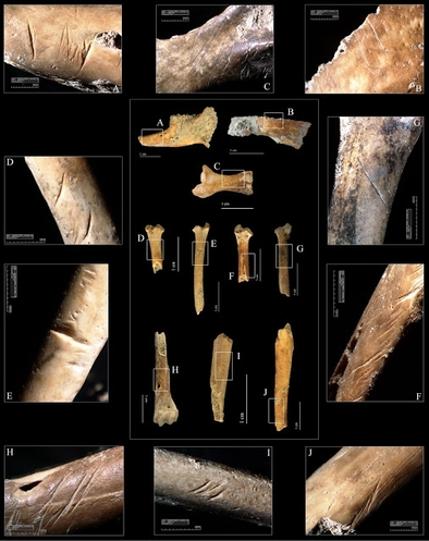 Restos de conejo hallados en el Molí del Salt con marcas de corte que indican su procesamiento en distintas actividades.