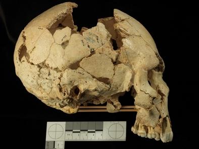 El Cráneo 6 de la Sima de los Huesos pertenece a uno de los cuatro individuos inmaduros estudiados para establecer su crecimiento óseo