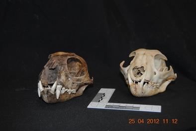 Cráneos de lince euroasiático hallados en la sima de Serpenteko (Navarra)
