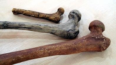 Fémures de Lucy (Australopithecus afarensis), el niño del Turkana (Homo ergaster) y de un neandertal.