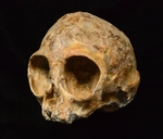 Alesi, un cráneo infantil de simio de 13 millones de años