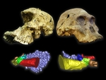 Cómo oían los homínidos de hace dos millones de años