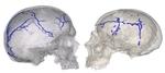 Un nuevo trabajo del CENIEH establece diferencias anatómicas entre neandertales y Homo sapiens