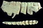 Nuevo estudio sobre los neandertales del Abric Romaní (Capellades, Barcelona)